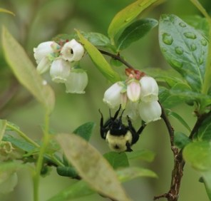 Bumblebee on the blueberries