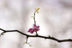 purplefloweringtree
