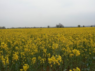 Rapeseed field ripening in the Cotswolds