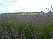 wind blown lavender today