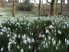 snowdrops in the Cotswolds