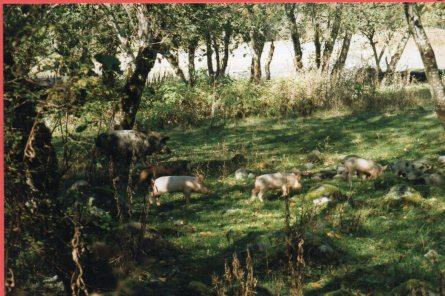 Unspoilt forest and wild pigs at the foot of Krasnapolyana
