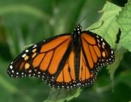 Butterfly in captivity