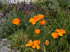 poppies in Cornwall