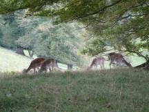 Deer at Dyrrham park