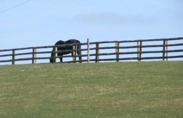 pony in field