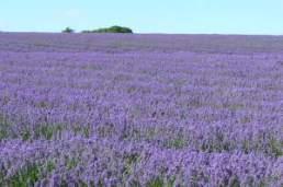 lavendar fields at Snowshill