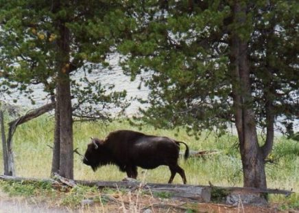 close up bison