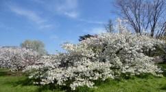 kew blossom 5