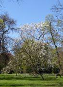 kew magnolia