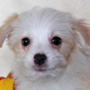 Aussie-Poo Puppy for Sale