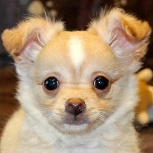 Long Hair Chihuahua Puppy