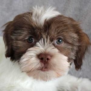 Havashih Puppy for Sale
