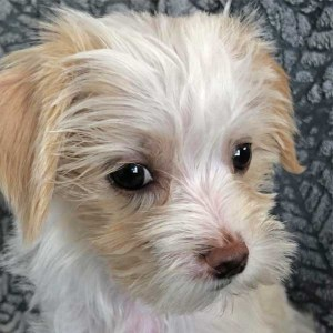 Morkie Puppy for Sale