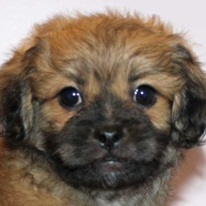 Pekapoo Puppy for Sale