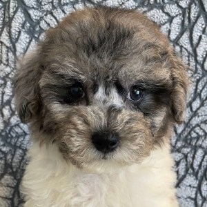 Toy Poodle Puppy for Sale