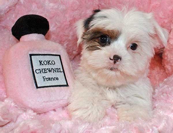 Biewer Yorkie Puppy