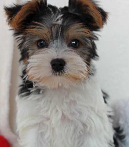 Biewer Yorkie Puppy for Sale