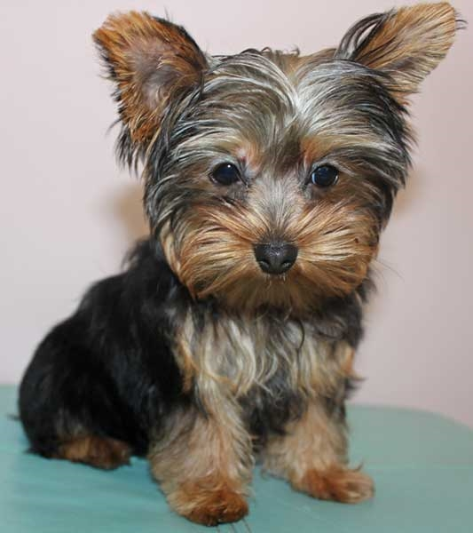 Yorkie Puppy for Sale