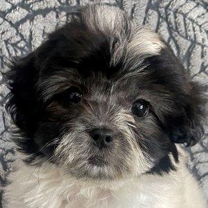 Teddy Bear Puppy for Sale