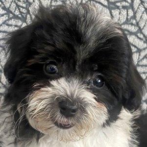 Bichapoo Puppy for Sale