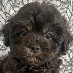 Female Shih-Poo Puppy for Sale