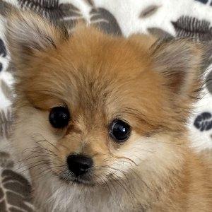 Female Pomeranian Puppy for Sale