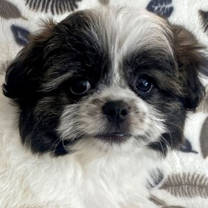 Female Pomshi Puppy for Sale