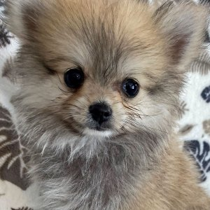 Male Pomeranian Puppy for Sale