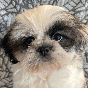 Female Shitzu Puppy for Sale