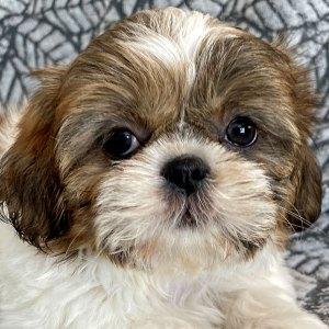 Female Shihtzu Puppy for Sale