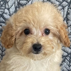 Male Poodle Puppy for Sale