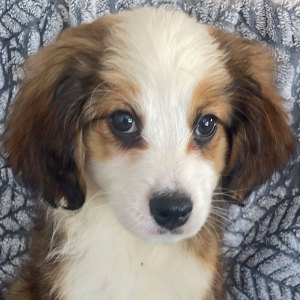 Female Bernedoodle Puppy for Sale