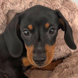 Male Dachshund Puppy for Sale