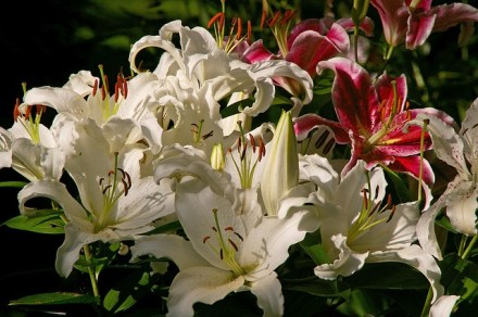 When God clothes the lilies in such splendor, will He not do more for us? #PeaceVerses
