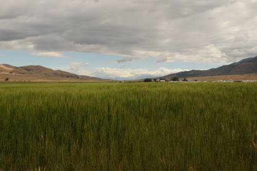 Einkorn wheat growing at Young Living's Mona, Utah Farm