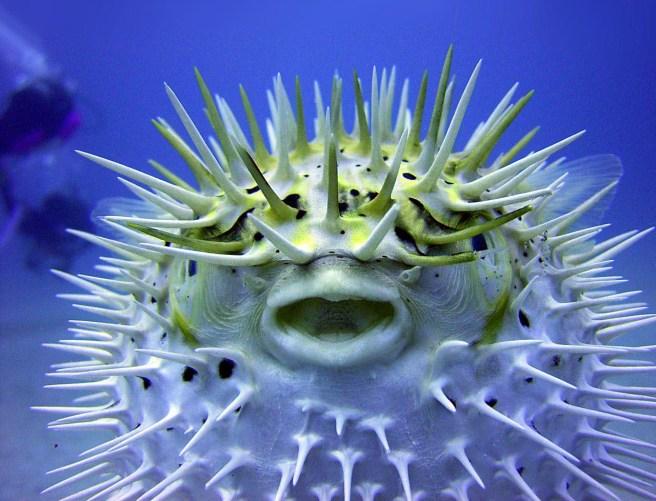 puffer-fish-1.jpg