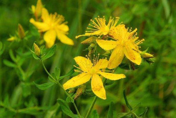 Třezalka - rostlina, ze které se dělá olej na Breussovu masáž