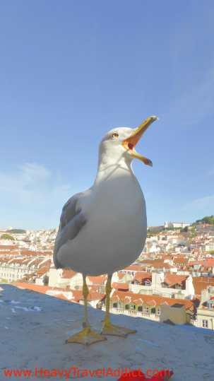 Portuguese Seagull
