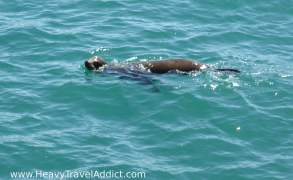 Seal at Santa Monica Pier