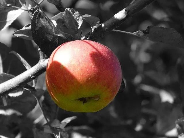 עץ תפוח