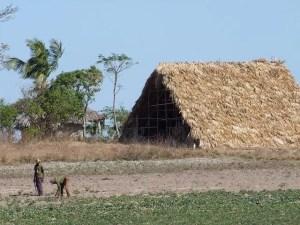 איכר בשדה טבק