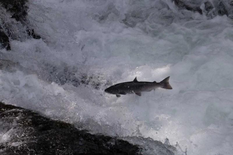 דג סלומון שוחה נגד הזרם