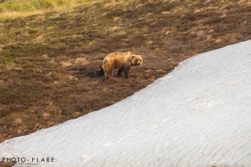 דוב גריזלי באלסקה