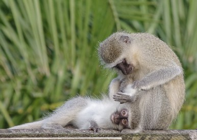 Vervet Monkeys by Ian Parker