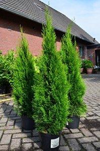 Hecken pflanzen kaufen -Thuja occidentalis `Smaragd´, Smaragd- Lebensbau
