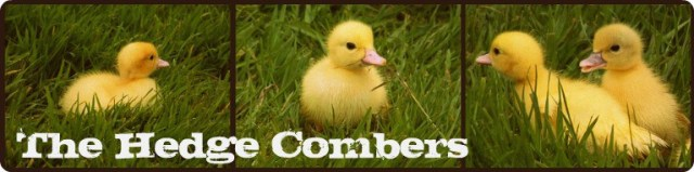 Hedgecomber Ducklings