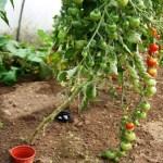 A Mid Season Look at Tomato Blight