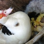 Finally, We Have Some Muscovy Ducklings!
