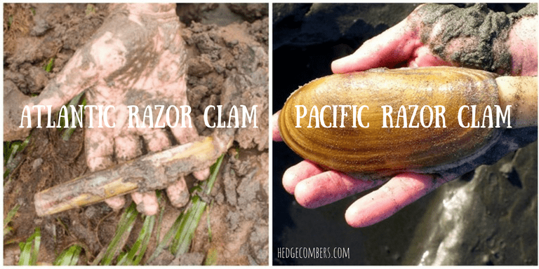 Whats the difference between an Atlantic & Pacific razor clam?